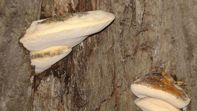 Si es posible sanar el hongo de las uñas por el aceite de pino albar