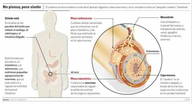 Un segundo cerebro funciona en el abdomen y regula las emociones
